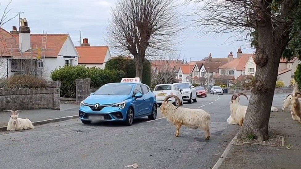 A driving school car edges past a herd of goats in Llandudno
