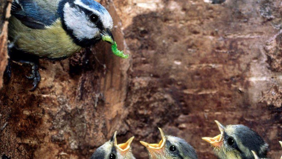 Blue tit with caterpillar feeding chicks