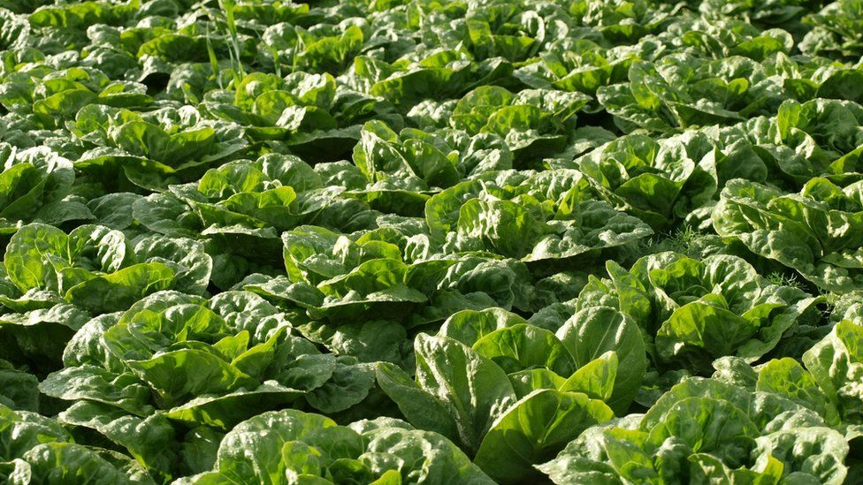 Lettuces in field