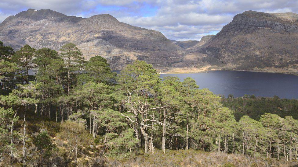 Scots pines growing at Beinn Eighe