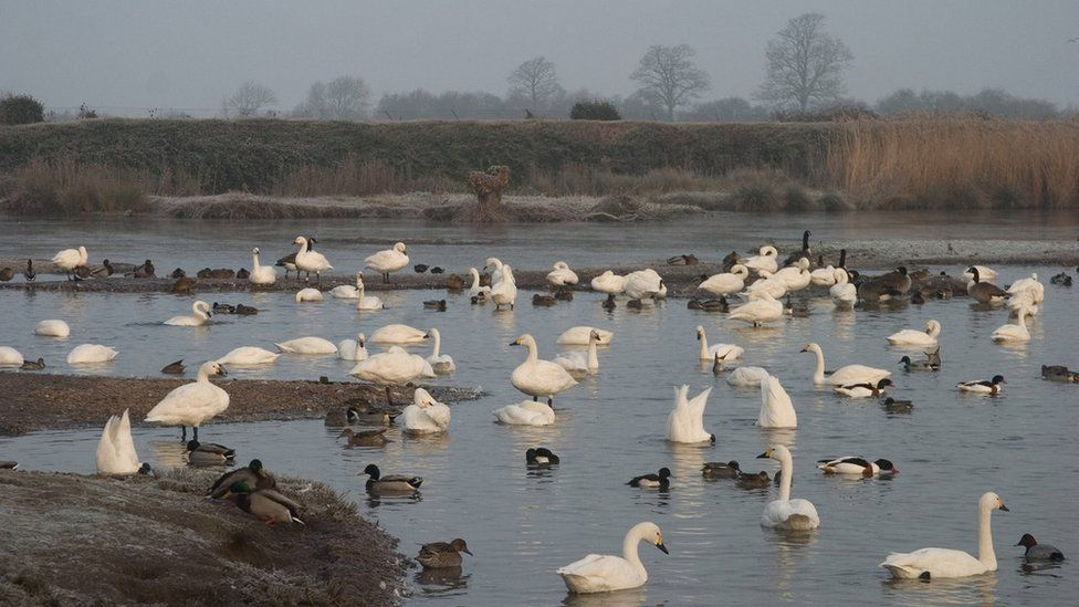 'Swanfall' at Slimbridge marks start of winter