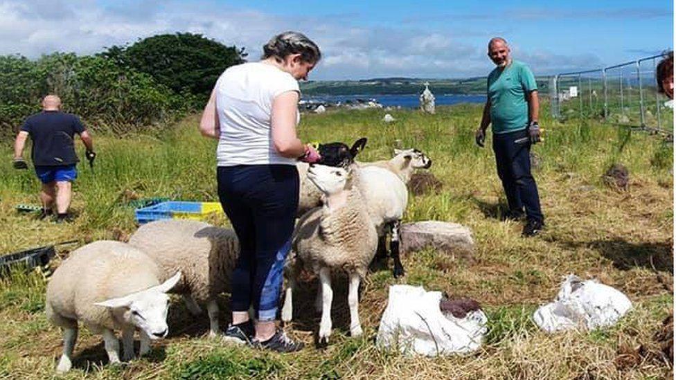 sheep at st matthews churchyard in cork