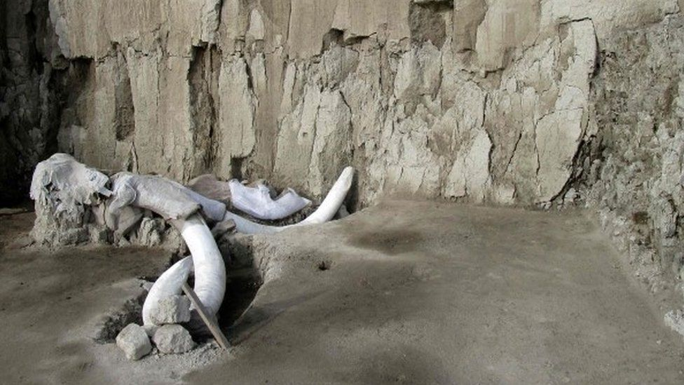 Mammoth bones protruding from the floor of the excavation site