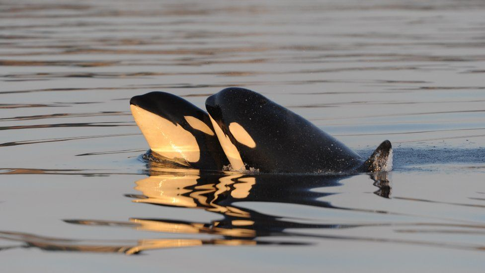 Two killer whales close together in the water