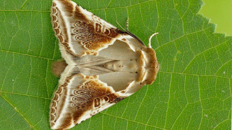 Buff Arches moth