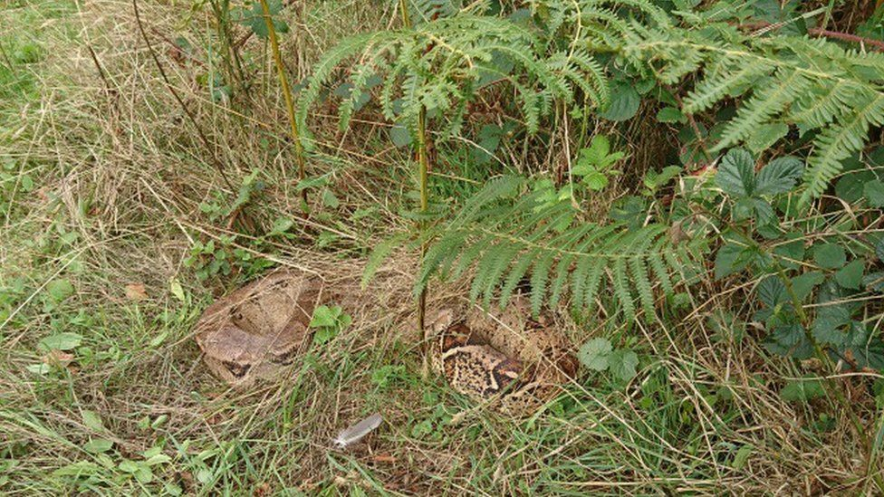 Boa constrictor in bush