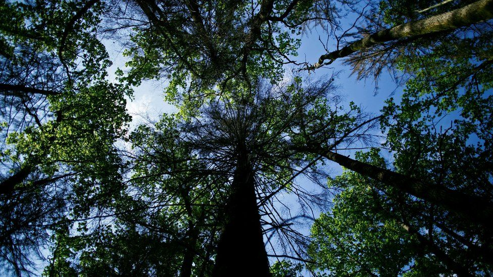 The sky is seen through trees at Bialowieza Forest