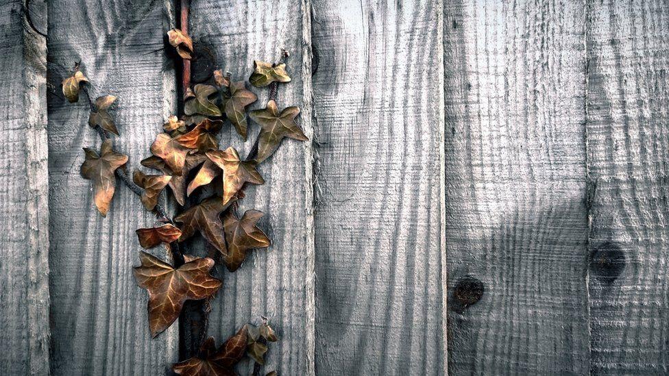 Ivy creeping through a fence