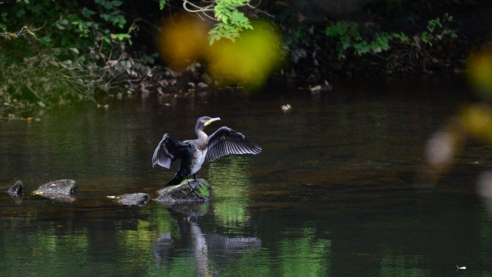 This cormorant was spotted on the River Clyde near New Lanark by Jack Alston.