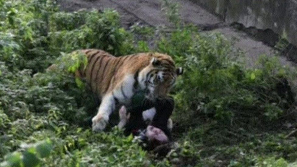 An onlooker took this photo of the tiger's sudden attack