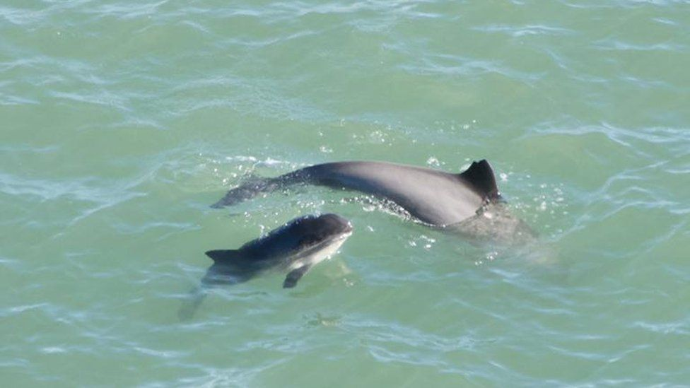 Mother and calf porpoise