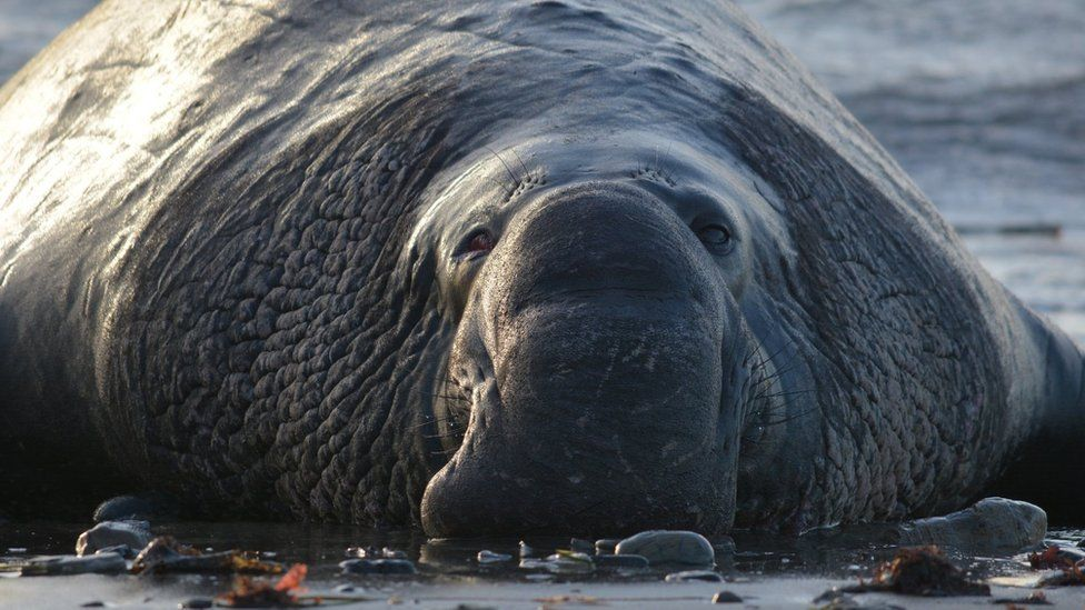 Male elephant seal on beach (c) Colleen Reichmuth/NMFS 19108