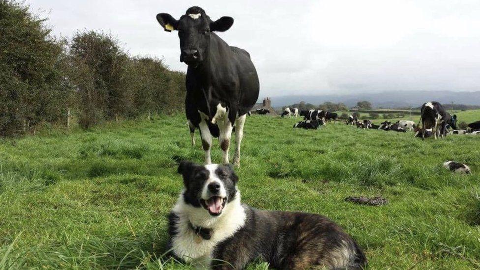 A farm dog amongst the cows