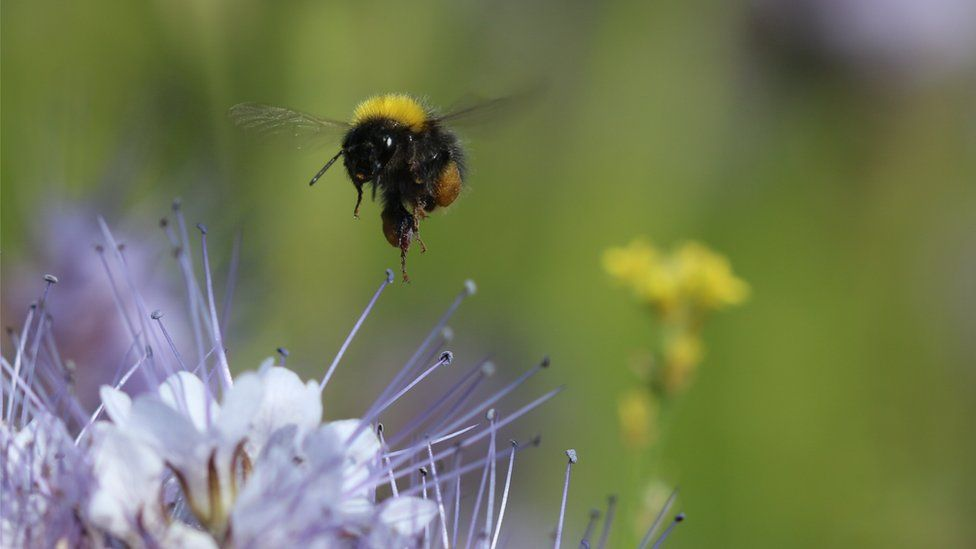 Bumblebee and phacelia