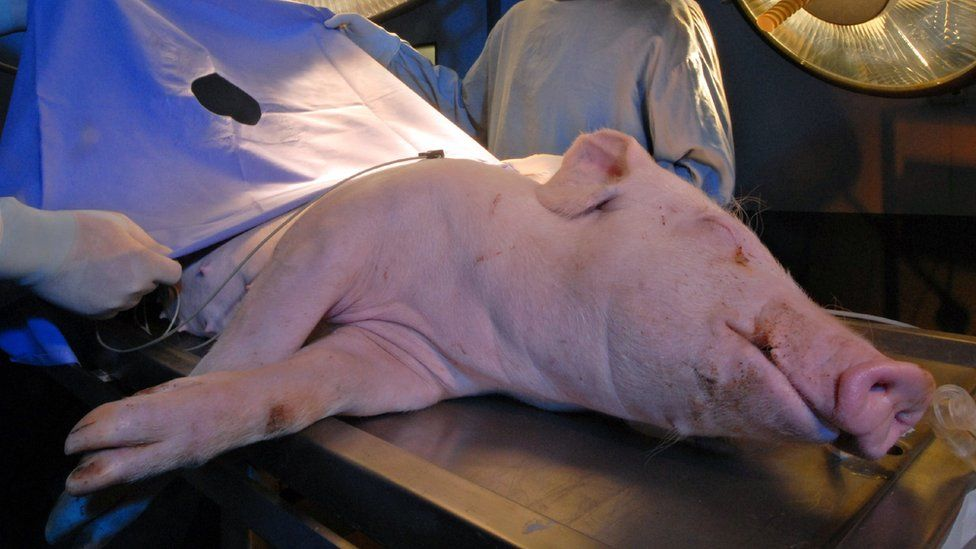 pig on an operating table