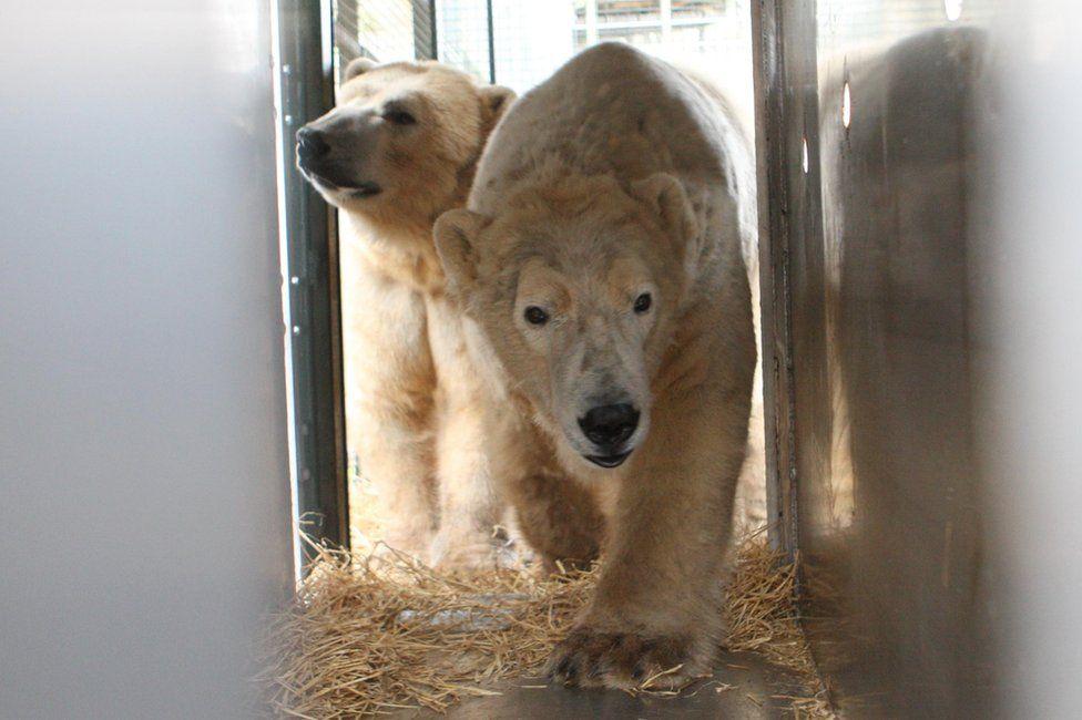 Polar bears Walker and Arktos
