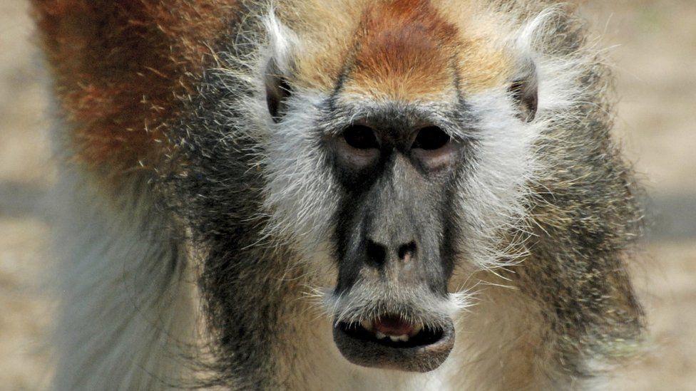 Blue Nile patas monkey