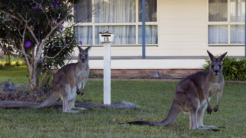 Two kangaroos sit on lawn in front of residential house