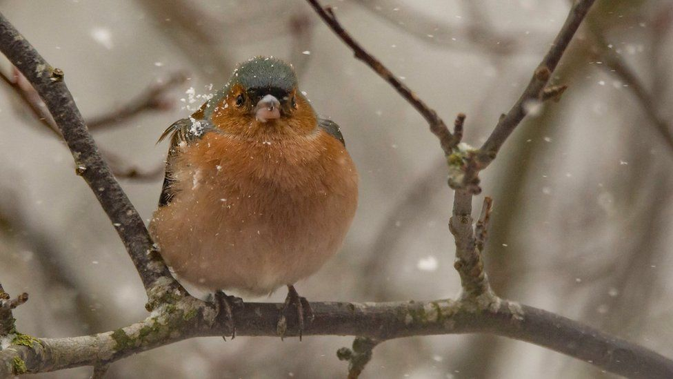 A male chaffinch in the snow