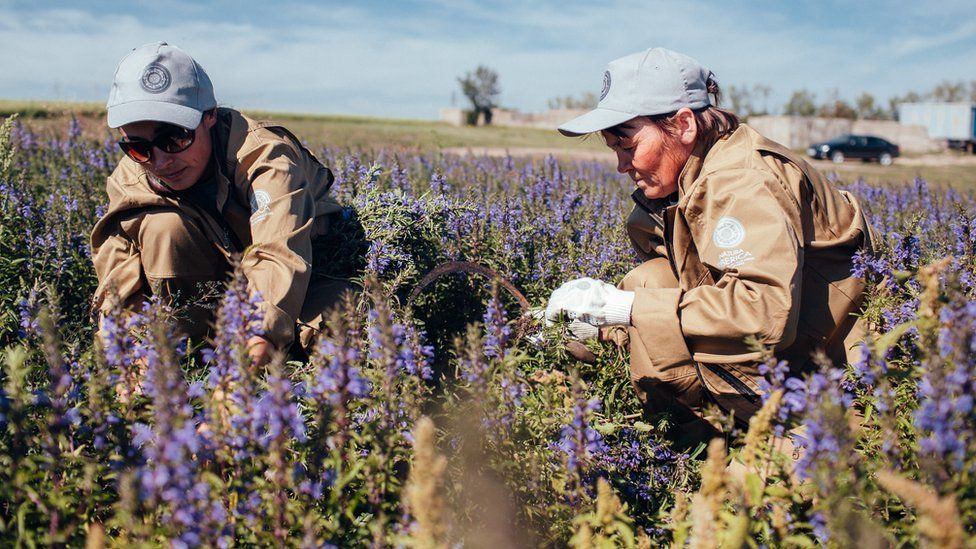 Natura Siberica workers picking herbs