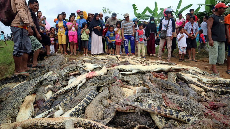 Villagers and dead crocodiles