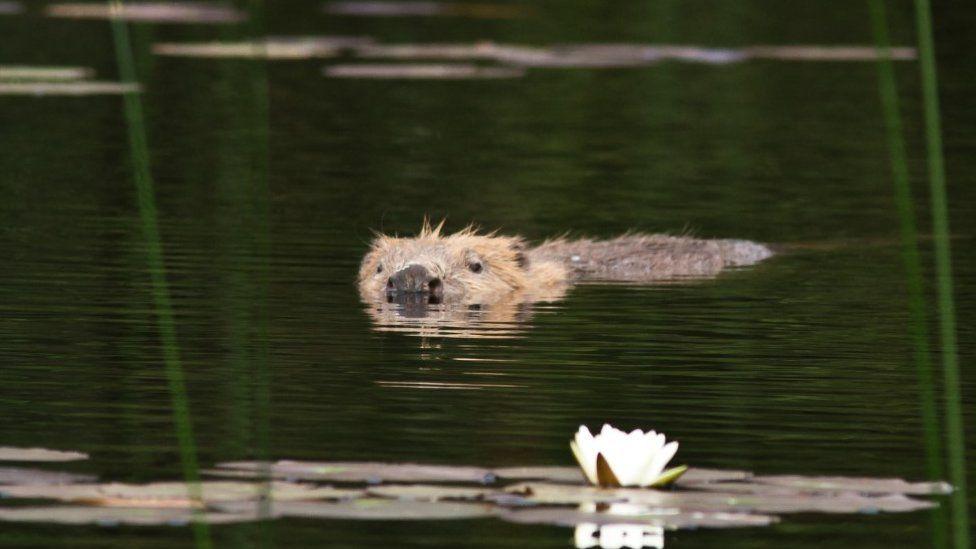 Beaver at Knapdale