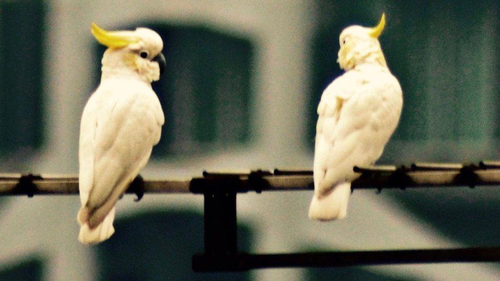 Yellow crested cockatoos (Image: Timothy Bonebrake)