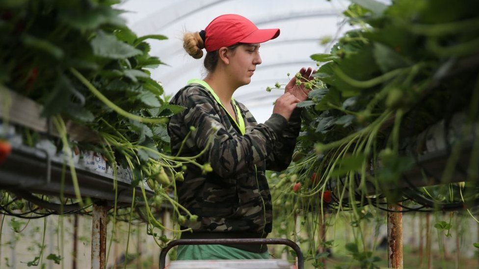 A strawberry picker in a greenhouse