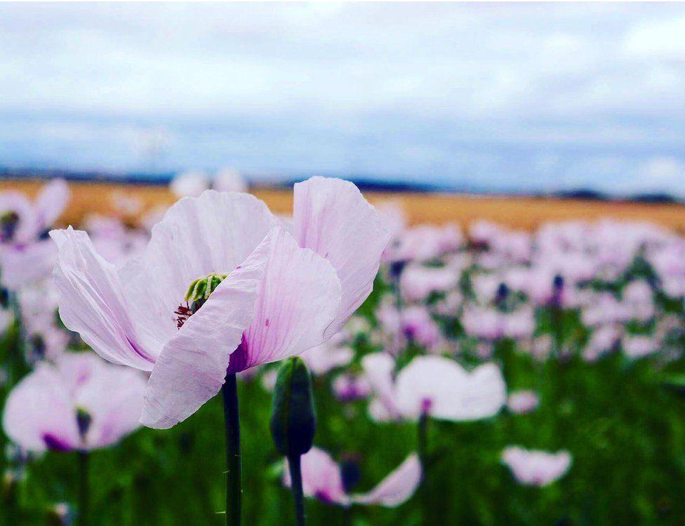 Opium poppies in a field