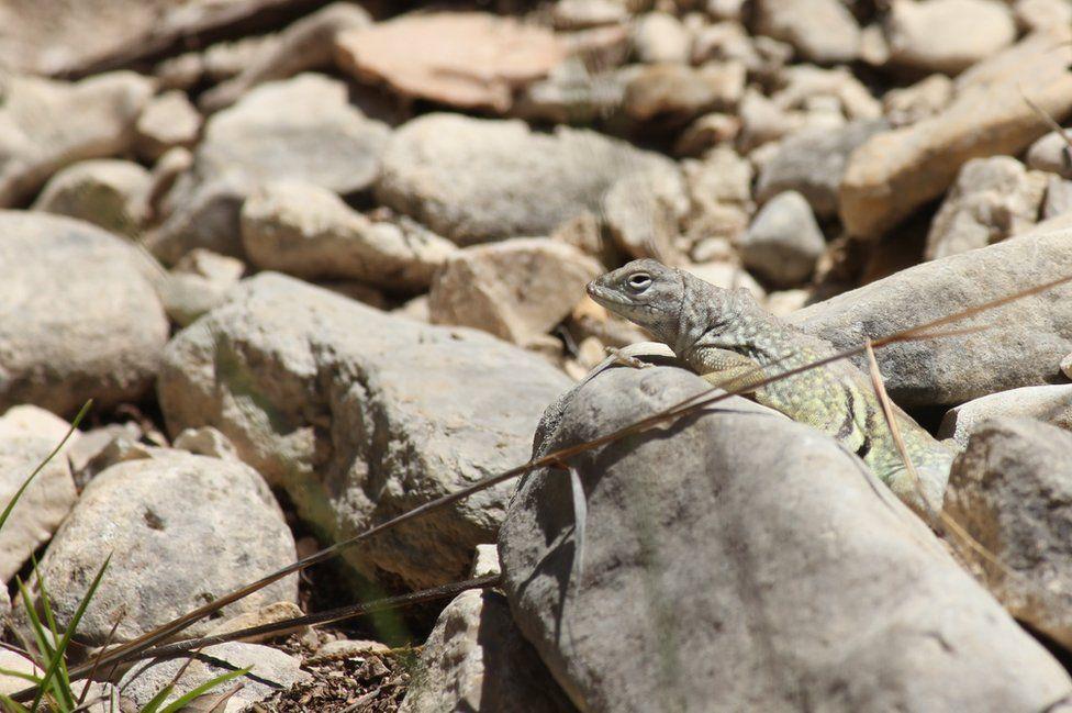 A lizard blends into some rocks.