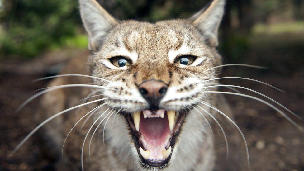 A Eurasian lynx baring its teeth
