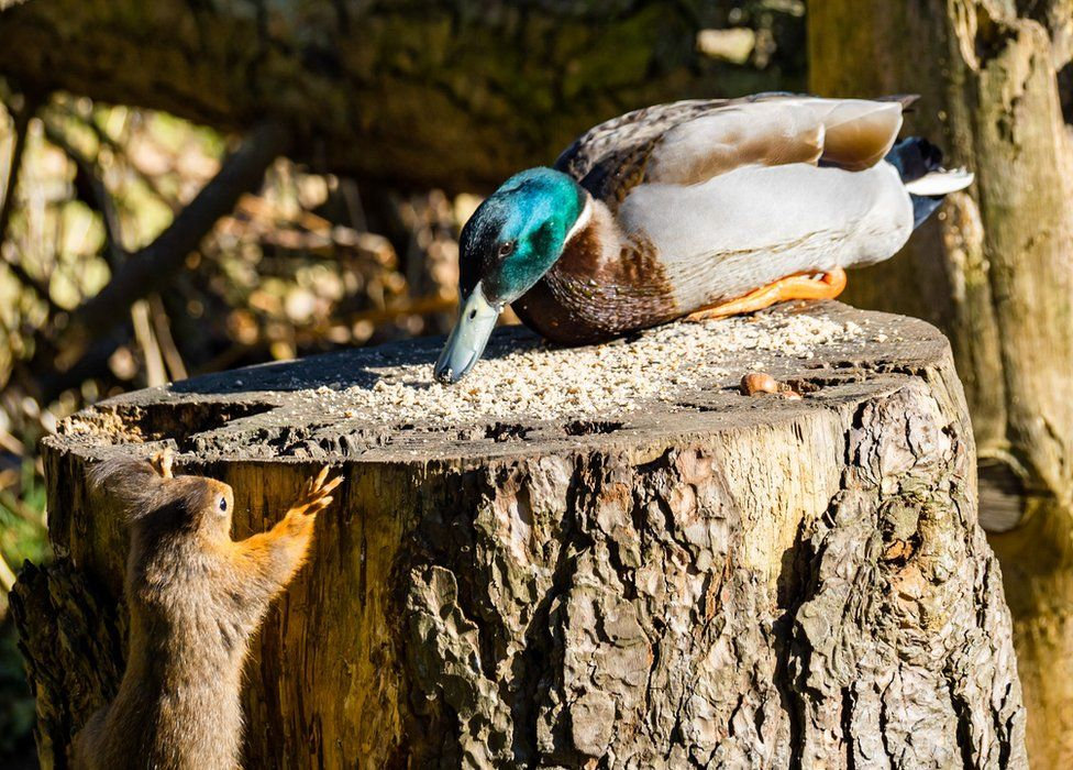 Squirrel and duck
