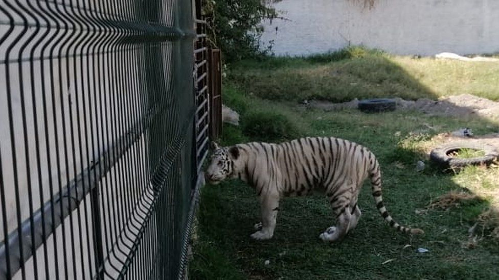 Picture of the second Bengal tiger in an enclosure