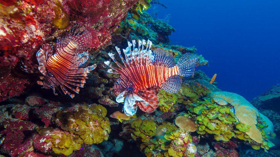 Рыба-лев появилась на коралловых рифах на побережье Кубы