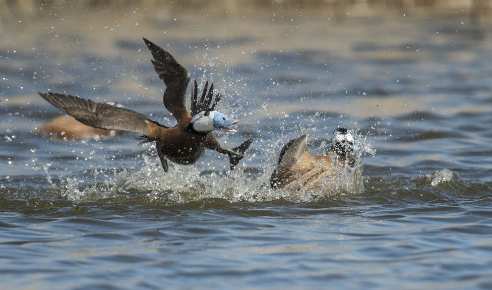 Two white-headed ducks fighting