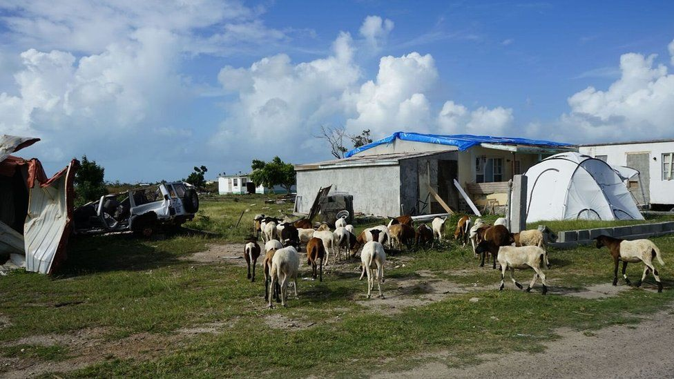 Goats roam freely around some damaged homes and cars
