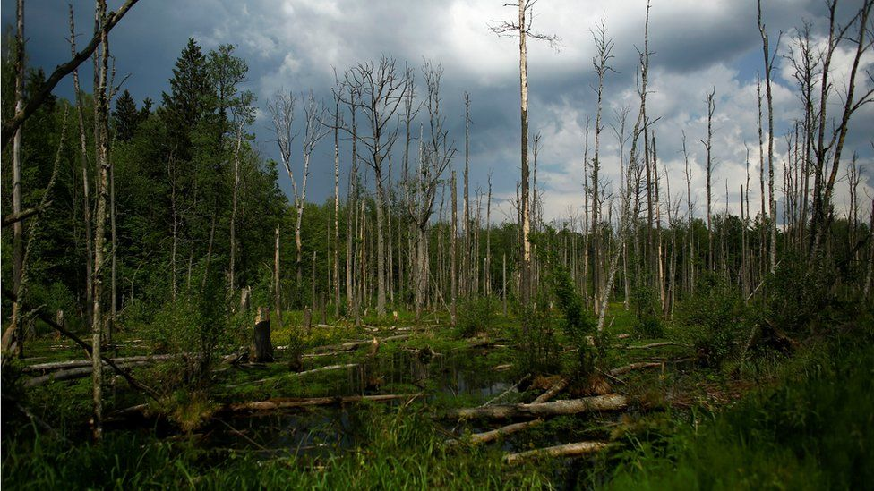 Trees lie in water in a swampy area of Bialowieza Forest