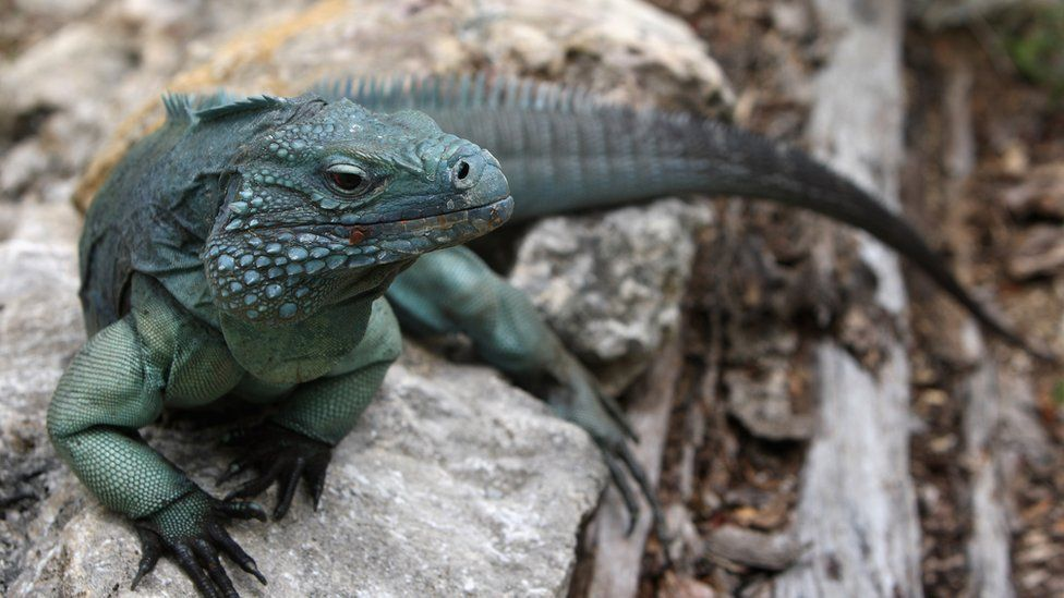 A Blue Iguana, one of the rarest species in the world