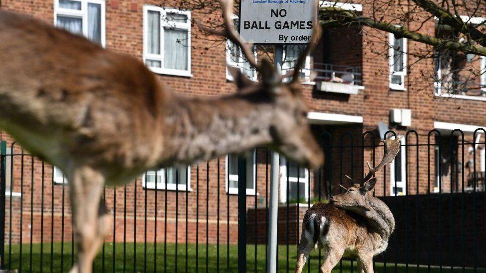 Fallow deer in a London housing estate