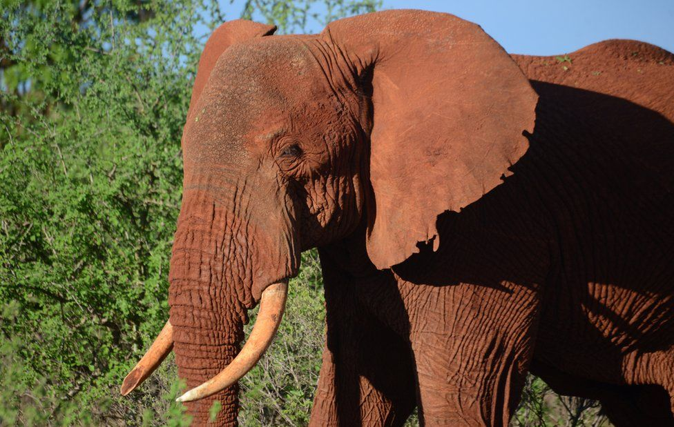 A female elephant pictured in Tsavo East national park in Kenya