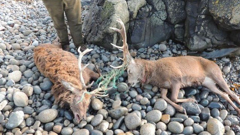 Two deer tangled in rope