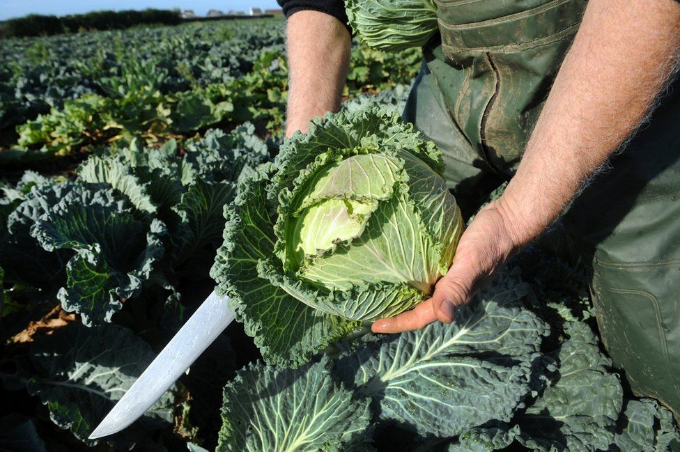 Farmer holds cabbage in field