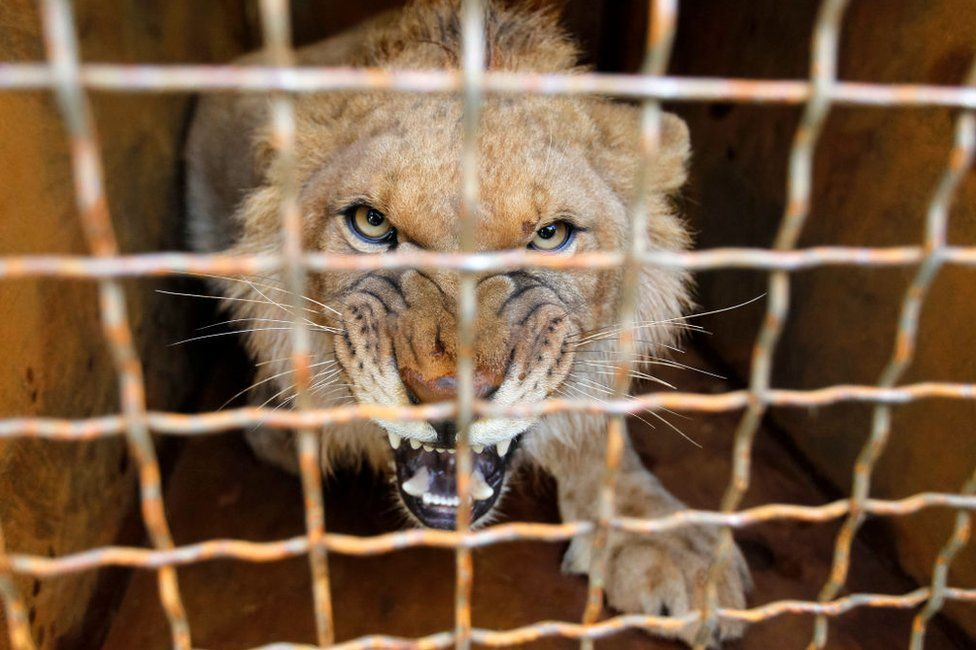 A lion cub bares its teeth at the camera from behind the bars on its cage.
