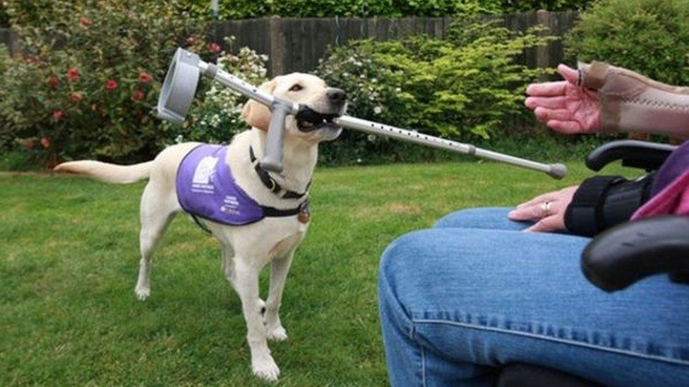 An assistance dog carrying a crutch
