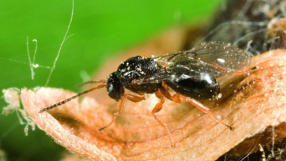 Dryocosmus kuriphilus