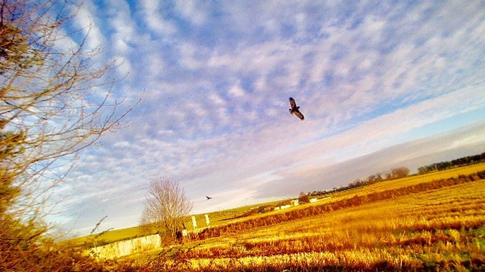 Ardersier Primary School's buzzards