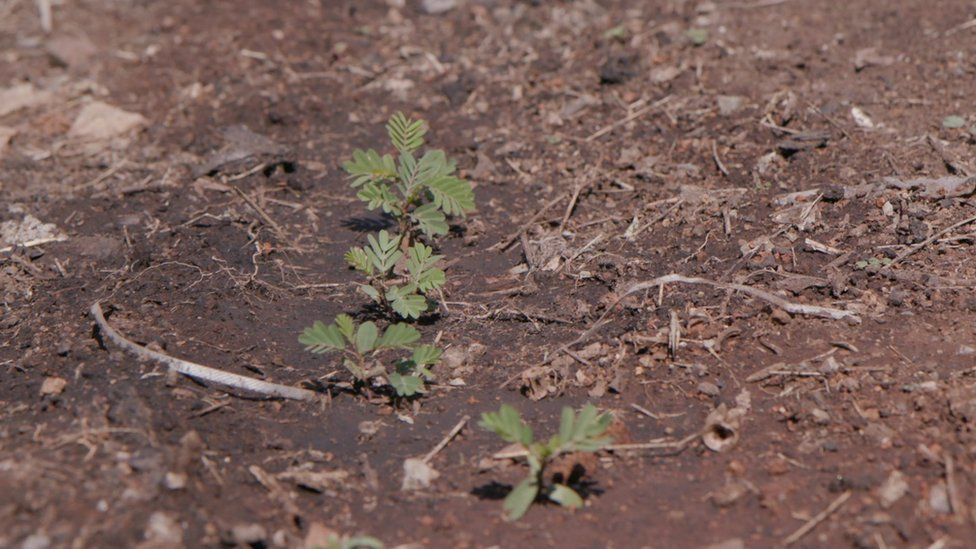 Small acacia tree seedlings growing in the earth