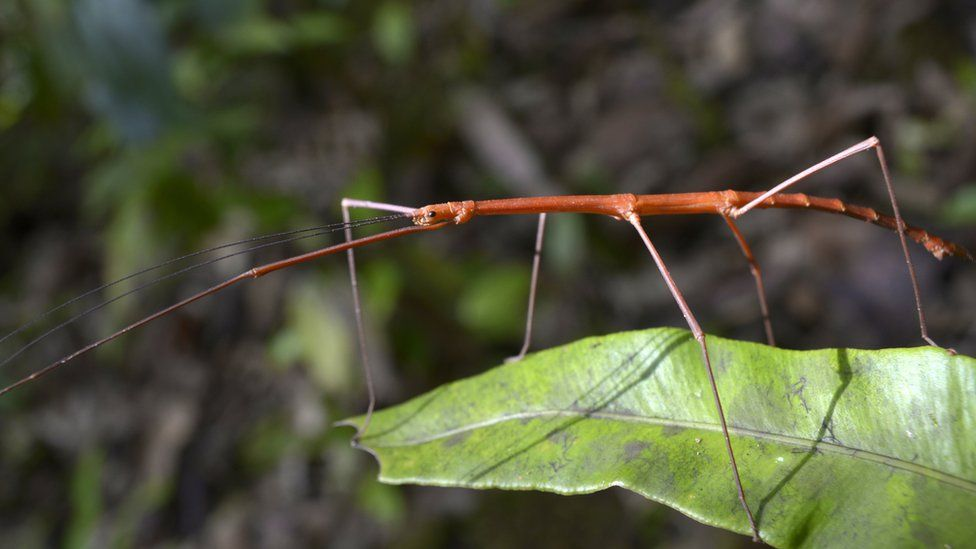 Seychelles stick insect