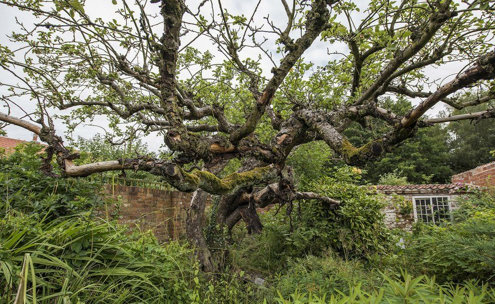 Original Bramley apple tree
