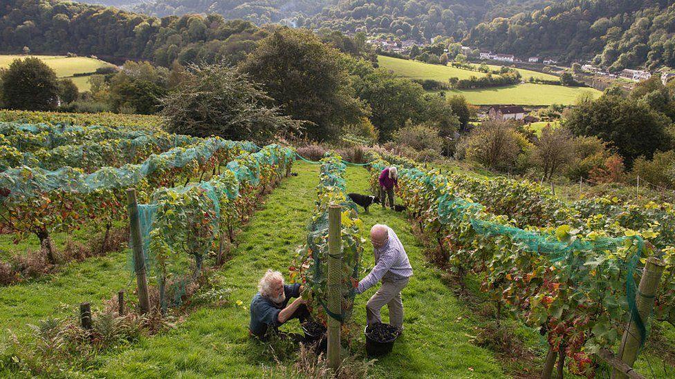 Wales vineyard